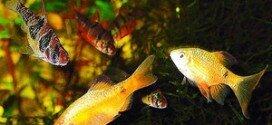Аквариумные рыбки: виды барбусов с фото