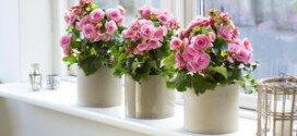 Цветок Рождественская звезда (пуансетия) – уход за цветущим комнатным растением